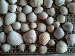 Ракушки морские, много, фото №6