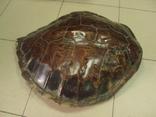Африка панцирь черепахи, вес 1,19 кг, фото №3