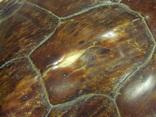 Африка панцирь черепахи, вес 1,19 кг, фото №5
