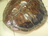 Африка панцирь черепахи, вес 1,19 кг, фото №8