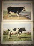 Коровы Лошади Редкий Огромный Альбом 45/32 Соцреализм, фото №4