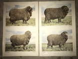 Коровы Лошади Редкий Огромный Альбом 45/32 Соцреализм, фото №9