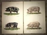 Коровы Лошади Редкий Огромный Альбом 45/32 Соцреализм, фото №10