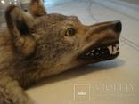 Волк, шкура с объёмной головой, фото №2