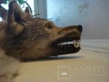Волк, шкура с объёмной головой, фото №3