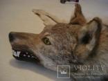 Волк, шкура с объёмной головой, фото №6