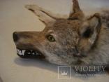 Волк, шкура с объёмной головой, фото №8