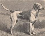 Старинная иллюстрация. 19 век. Принты с собаками