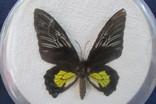 Бабочка в коробочке, фото №3