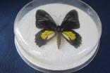 Бабочка в коробочке, фото №5