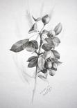 Рисунок карандашом. Графика. Веточка дикой груши (41х29см). Ю. Смаль фото 1