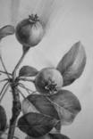 Рисунок карандашом. Графика. Веточка дикой груши (41х29см). Ю. Смаль фото 2
