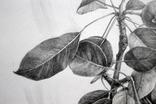 Рисунок карандашом. Графика. Веточка дикой груши (41х29см). Ю. Смаль фото 3
