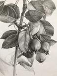Рисунок карандашом. Графика. Веточка дикой груши (41х29см). Ю. Смаль фото 4