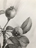 Рисунок карандашом. Графика. Веточка дикой груши (41х29см). Ю. Смаль фото 7