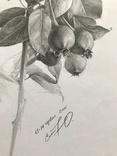 Рисунок карандашом. Графика. Веточка дикой груши (41х29см). Ю. Смаль фото 9