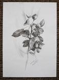 Рисунок карандашом. Графика. Веточка дикой груши (41х29см). Ю. Смаль фото 10