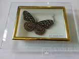 Бабочка в коробочке под стеклом., фото №7