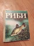 Риби наших водойм., фото №2