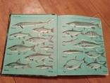 Риби наших водойм., фото №3