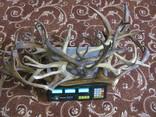 Роги оленя 3.155 кг, фото №6