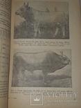 1940 Сiра українська худоба, фото №9