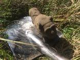 Бронзовый лев-скульптура 4.3 кг, фото №4