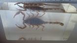 Скорпион в плексе., фото №3