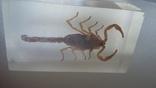 Скорпион в плексе., фото №5