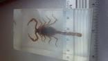 Скорпион в плексе., фото №9