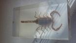 Скорпион в плексе., фото №10