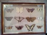 Коллекция бабочек, фото №2