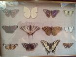Коллекция бабочек, фото №3