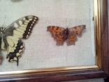 Коллекция бабочек, фото №10