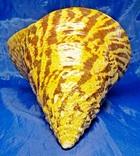 Трохус нилотикус, Trochus niloticus (Нильский трохус), фото №3
