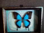 Бабочка Папилио улисс в рамке, фото №5