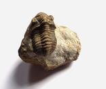 Трилобіт Gerastos на породі девонського періоду, фото №3
