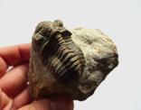 Трилобіт Gerastos на породі девонського періоду, фото №6