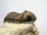 Трилобіт Gerastos на породі девонського періоду, фото №2