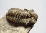 Трилобіт Gerastos на породі девонського періоду, фото №9