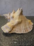 Раковина королевского стромбуса большая, фото №2