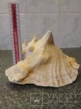 Раковина королевского стромбуса большая, фото №8