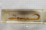 Скорпіон, фото №4