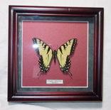 Бабочка в рамке Papilio glaucus Мексика, фото №3