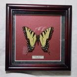 Бабочка в рамке Papilio glaucus Мексика, фото №2