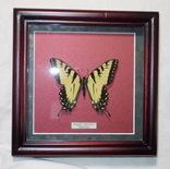 Бабочка в рамке Papilio glaucus Мексика, фото №4