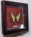 Бабочка в рамке Papilio glaucus Мексика, фото №6