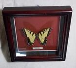 Бабочка в рамке Papilio glaucus Мексика, фото №7