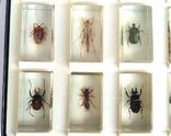 Жуки в стекле, настоящие Насекомые и их знакомые, коллекция 18 шт., фото №10