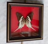 Бабочка в рамке Papilio androcles  Индонезия, фото №6